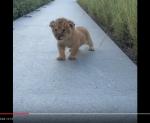 actu-video-de-la-semaine-baby-lion-king-roar